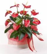 Anthurium Regalo