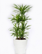 Dracaena
