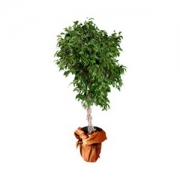 Ficus Benjamin