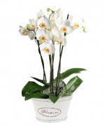 Phalaenopsis Allegra